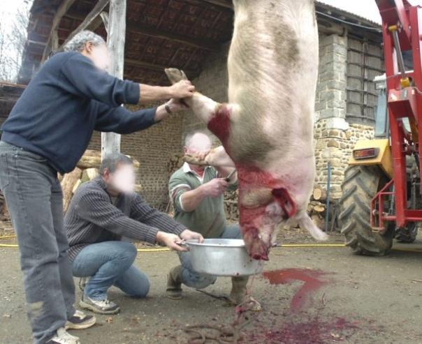 tuer cochon