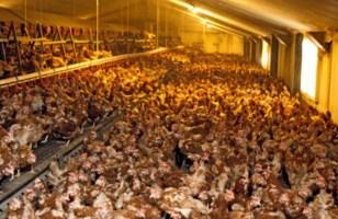 poulet intensif_ [320x200]