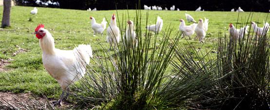 poulets-de-bresse